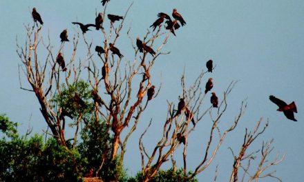 Schwarzmilane im Engerser Feld beobachten – Führung: Mit Expertem durch beeindruckende Flora und Fauna